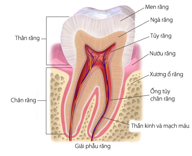 Người Trưởng Thành Có Bao Nhiêu Răng? - Nha Khoa Quốc Tế Á Châu - ảnh 2